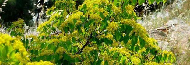 Οι μελισσοβοσκές Παλιουριού (Paliurus spina Christi) του όρους Πάϊκου