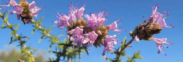 Η μελισσοκομική χλωρίδα της Λήμνου